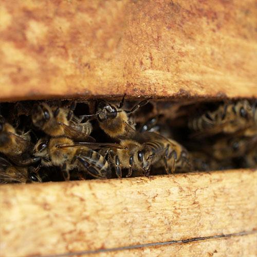 Les abeilles des ruches Famille Mary