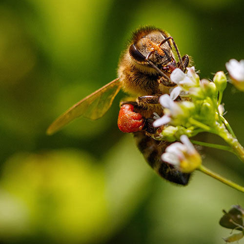 Venin d'abeille